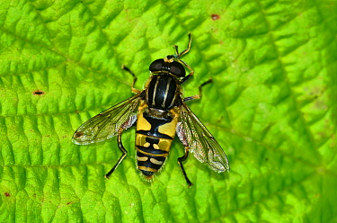 Hoverfly (Helophilus pendulus) on leaf, Dorset, UK, July.