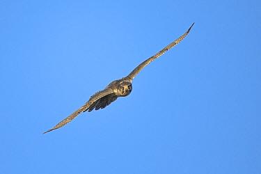Gyrfalcon (Falco rusticolus) in flight against blue sky, Seward Peninsula, Alaska, USA, June.