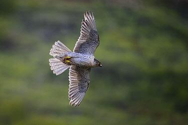 Gyrfalcon (Falco rusticolus) in flight, Seward Peninsula, Alaska, USA. June.