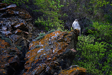 Gyrfalcon (Falco rusticolus) perched on rock, Seward Peninsula, Alaska. June.