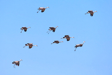 Sandhill Cranes (Grus canadensis) in flight. Central Nebraska, USA. March.