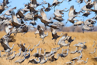 Sandhill Cranes (Grus canadensis) feeding in agricultural fiields during migration. Central Nebraska, USA. March.
