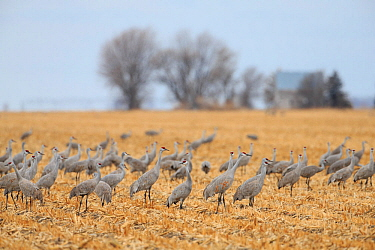 Sandhill Cranes (Grus canadensis) feeding in agricultural fiields during migration. Central Nebraska, USA, March.