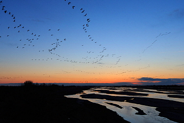 Sandhill Cranes (Grus canadensis) flying to their roost on the Platte River during their northward spring migration. Central Nebraska. March.