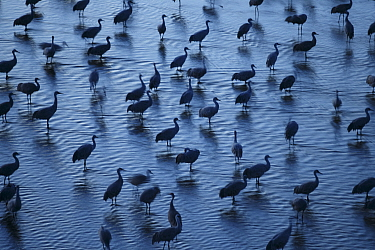 Sandhill Cranes (Grus canadensis) roosting in the Platte River during their northward spring migration. Central Nebraska. March.