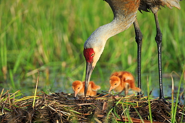 Sandhill Crane ( Grus canadensis) tending  two newly hatched chicks in  nest in a flooded pasture. Adult cranes actively teach or show their chicks food items to consume. Sublette County, Wyoming. May...