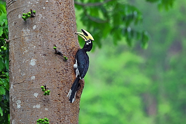 Oriental pied hornbill (Anthracoceros albirostris) on fruiting tree, Yingjiang County, Dehong Prefecture, Yunnan Province, China.