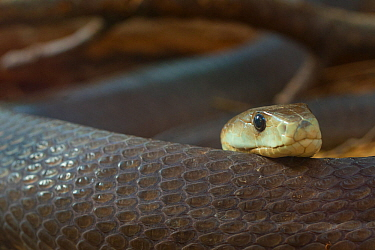 Black mamba (Dendroaspis polylepis) captive; occurs in Africa.