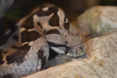 Ottoman viper (Vipera xanthina) captive occurs in  Greece and Turkey.