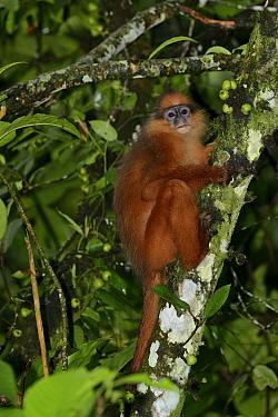 Sumatran surili / Mitred Leaf Monkey (Presbytis melalophus) Sumatra. Endemic.