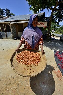 Sumatran woman with tray of peanuts drying,  Sumatra July 2016.