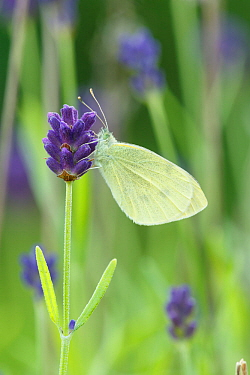 Small White / Cabbage white butterfly (Pieris rapae) on Lavender, Sheffield, UK July (Focus-stacked image)