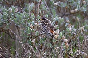 Redwing (Turdus iliacus coburni) portrait, Iceland June