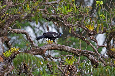 Trinidad piping guan (Pipile pipile) Trinidad and Tobago, April