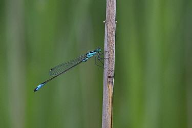 Blue-tailed damselfly (Ischnura elegans) Norfolk UK July