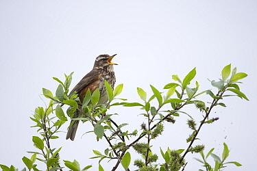 Redwing (Turdus iliacus coburni) singing portrait, Iceland June