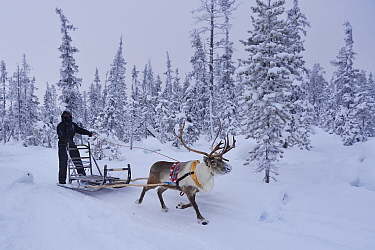 A reindeer sledding tour experience with sami reindeer herdsmen at the Reindeer Lodge in -25 degrees C, run by Nutti Sami Siida, near the Icehotel, in Jukkasjarvi, Lapland, Laponia, Norrbotten county,...