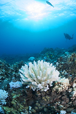 Bleached Antler coral (Pocillopora edouxi) with Arceye hawkfish (Paracirrhites arcatus) perched at bottom, Makako Bay, Keahole, Kona, Hawaii. Pacific Ocean.