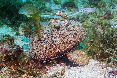 Flower urchin (Toxopneustes pileolus) extremely venomous, the long feet attach debris for camouflage, Cebu, Malapascua Island, Philippines, September