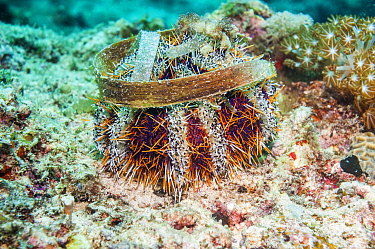 Cake urchin (Tripneustes gratilla)  Cebu, Malapascua Island, Philippines, September
