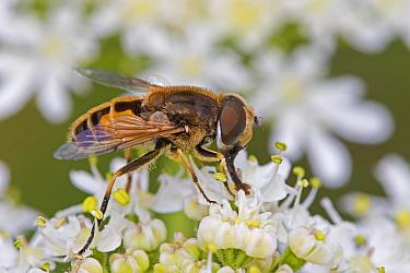Drone fly (Eristalis tenax) a Honey-bee mimic, Brockley Cemetery, Lewisham, London, UK June