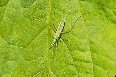 Mirid bug (Stenodema laevigatum) Warwick Gardens, Peckham, London, UK June