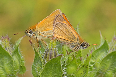 Small Skippers (Thymelicus sylvestris) mating butterfly pair,  Sutcliffe Park Nature Reserve, Eltham, London, UK July