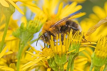 Tree bumble bee (Bombus hypnorum) feeding on Ragwort (Jacobaea vulgaris) Brockley Cemetery, Lewisham, London, UK July