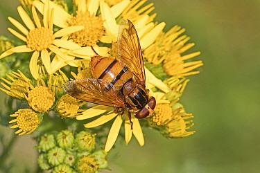 Hoverfly (Volucella inanis) female, a wasp mimic, feeding on Ragwort (Jacobaea vulgaris) Brockley Cemetery, Lewisham, London, UK  August