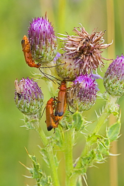 Common Red soldier beetles (Rhagonycha fulva) on Creeping thistle, Sutcliffe Park Nature Reserve, Eltham, London, UK July