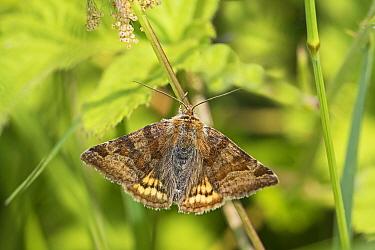 Burnet companion (Euclidia glyphica) a day flying moth,  Sutcliffe Park Nature Reserve, Eltham, London, UK June