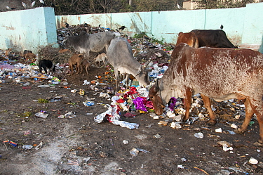Cow feeding on rubbish in street. Delhi, India. January 2016.
