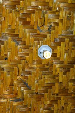 Common house gecko (Hemidactylus frenatus) indoors on ceiling, introduced species. Sumatra.