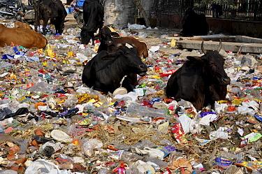Cows feeding on rubbish in street. Delhi, India. January 2016.