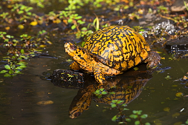 Male Eastern Box Turtle (Terrapene carolina carolina) crossing a shallow forest stream, Connecticut, USA.