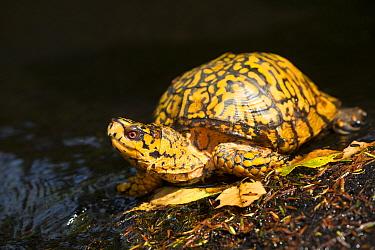 Male Eastern Box Turtle (Terrapene carolina carolina) crossing a shallow forest stream; Connecticut, USA.