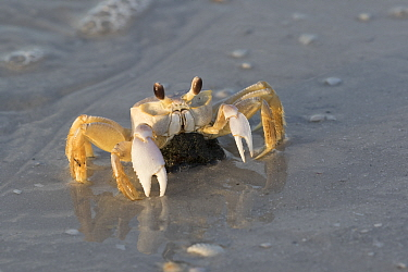 Atlantic Ghost Crab (Ocypode quadrata) female with egg cluster tucked underneath, making its way to lay eggs, Pinellas County, Florida, USA.