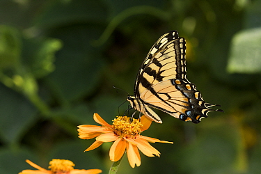 Eastern Tiger Swallowtail Butterfly (Papilio glaucus) nectaring on Zinnia in farm garden,  Connecticut, USA