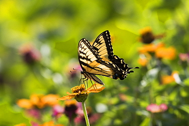 Eastern Tiger Swallowtail Butterfly (Papilio glaucus) nectaring on Zinnia in farm garden,  Connecticut, USA (NPL)