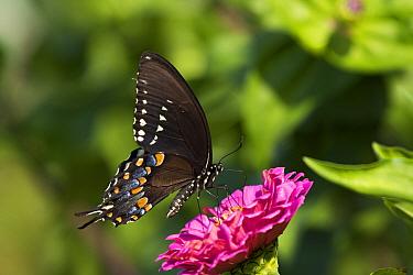 Spicebush Swallowtail Butterfly (Papilio troilus) nectaring on Zinnia in farm garden,  Connecticut, USA