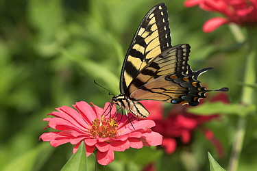 Eastern Tiger Swallowtail Butterfly (Papilio glaucus) nectaring on Zinnia flower in farm garden,  Connecticut, USA.