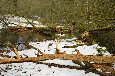 Willow tree (Salix sp.) felled and stripped of its bark by Eurasian beavers (Castor fiber) by a stream in the grounds of Bamff estate, in snow, Alyth, Perthshire, Tayside, Scotland, UK, April.