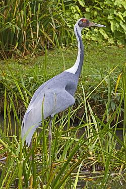 White-naped crane (Grus / Antigone vipio) occurs East Asia and SE Russia, Vulnerable status, captive