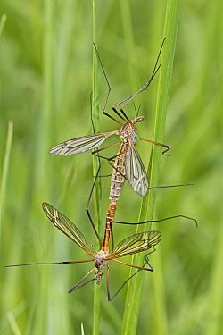 Craneflies (Tipula vernalis) mating pair, Brockley Cemetery, Lewisham, London, UK May