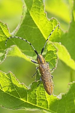 Golden-bloomed grey longhorn beetle (Agapanthia villosoviridescens) Brockley Cemetery, Lewisham, London UK June