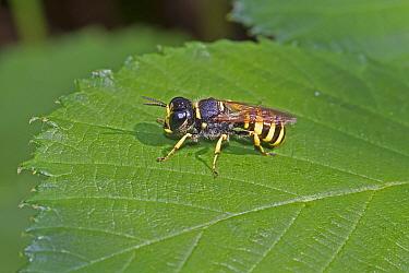 Big-headed Digger wasp (Ectemnius cephalotes) Brockley Cemetery, Lewisham, London, UK September