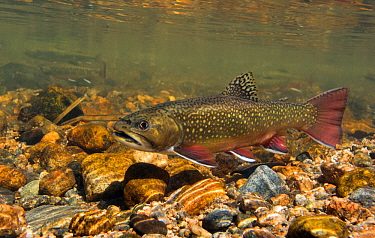 Brook trout (Salvelinus fontinalis) resting between building a redd into which she deposits eggs, then waits for a male to come along and fertilize them. Rocky Mountain National Park, Colorado, USA, S...