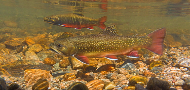 Brook trout (Salvelinus fontinalis) female in the foreground with a male in the background and another male in the far background.The female digs a hole or redd into which she deposits her eggs, and t...