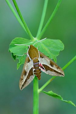 Spurge hawk-moth (Hyles euphorbiae) Lorgues, Provence, southern France, May.