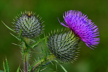 Spear thistle (Cirsium vulgare) flower and bud. Dorset, UK July.